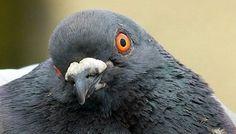 Animaux - Signez la pétition : Contre le gazage totalement injustifié de nos amis pigeons à Arras