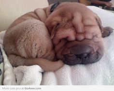Little Shar Pei puppy