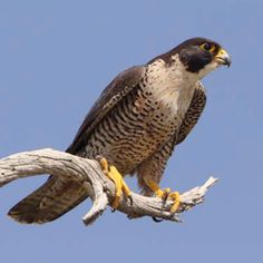 Peregrine Falcon.  One made a bird kill not more than 25' from my office chair last summer.  Regal!