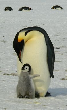 Picture of emperor penguins.
