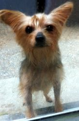 Bolt is an adoptable Yorkshire Terrier Yorkie Dog in Pitman, NJ. Please contact Cynthia ( cventura162@verizon.net ), (856) 582-5633, (215) 917-8435 for more information about this pet. If your heart i...