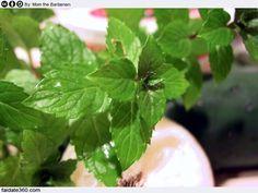 Come coltivare la menta in modo semplice sia in vaso che in giardino, preparare il terreno, seminarlo o impiantando gli apici vegetativi, come racogliere il prodotto correttamente.