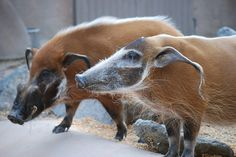 Red River Hogs (Potamochoerus porcus), San Diego Zoo, USA; photograph by pamelainob ¶ They have haunting faces, both beautiful and scary.