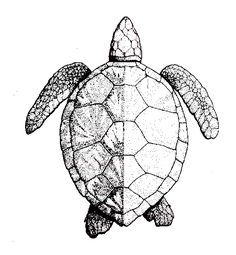 how to draw a green sea turtle step by step