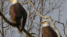 """Another reason to keep your cats indoors...  """"....webcam showed two adult eaglesfeeding a feline to their eaglets..."""""""