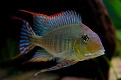 Red Head Tapajos Cichlid Cichlid Aquarium, Aquarium Fish, Tropical Aquarium, Tropical Fish, South American Cichlids, Tropical Freshwater Fish, New Tank, Africans, Fish Tank