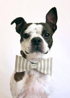 Bow tie Boston terrier #dog
