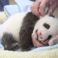 And here's a panda cub being tickled. | 19 Incredibly Rare And Endangered Baby…