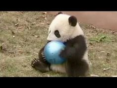 Baby Pandas in China - no comment - YouTube
