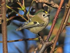 Goldcrest (Regulus regulus) by Cj_Hughson.