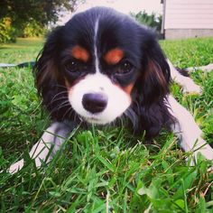 My precious tri-color Cavalier King Charles Spaniel, Marlo Ann, enjoying the sweet summertime (5 months old).