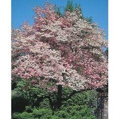 3.63-Gallon Red Flowering Dogwood Flowering Tree (L1022) Nursery