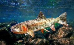 High country cuttbow. www.fisheyeguyphotography.com