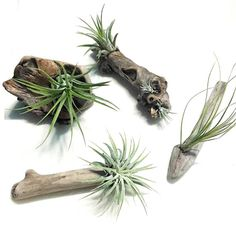 Beautiful tillandsias carefully attached to four lovely pieces of driftwood. These adorable pieces range in size from 2 to 5 and are permanently