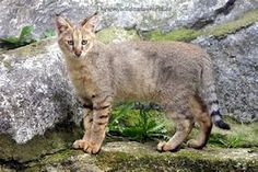 Jungle Cat Facts, History, Useful Information and Amazing Pictures Wild Cat Species, Animals Beautiful, Cute Animals, Cat Magazine, Tidy Cats, Spotted Cat, Jungle Cat, Asia, Cat Facts
