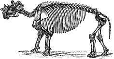 Dinoceras Skeleton