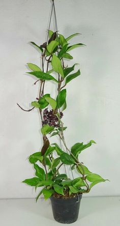 HOYA PUBICALYX HAWAIAN PURPLE SMALL ROOTED CUTTIN//PLANT 6-8CM POT HOUSE PLANT