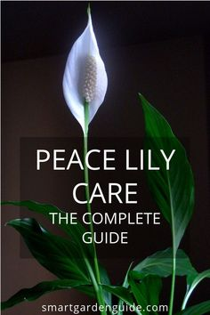 Excellent Gardening Ideas On Your Utilized Espresso Grounds Complete Guide To Caring For Peace Lily Houseplants. This Article Will Cover All Aspects Of Peace Lily Care As Well As The Common Problems And How To Prevent And Treat Them. Peruse More At Peace Lily Plant Care, Peace Plant, House Plant Care, House Plants, Easter Lily Care, Lilly Plants, Peace Lillies, Lilies, Smart Garden