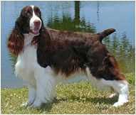English Springer Spaniel - Dog Breeds