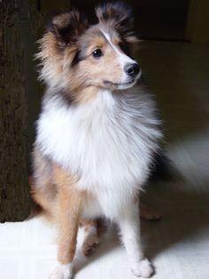 Sheltie, puppy Sue
