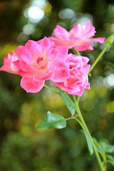 Pink Roses with Bokeh Effect. Flower photography by Mademoiselle Mermaid.