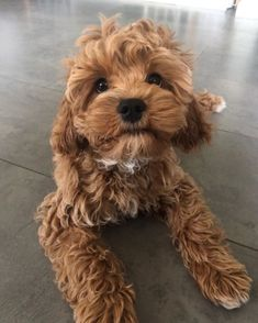 Cute Baby Dogs, Cute Little Puppies, Cute Dogs And Puppies, Cute Baby Animals, Funny Animals, Doggies, Adorable Dogs, Animals Dog, Little Dogs