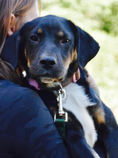 Angel is an adoptable Labrador Retriever searching for a forever family near Danbury, CT. Use Petfinder to find adoptable pets in your area.