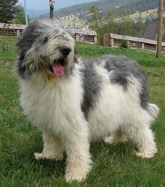 Mioritic Shepherd dog in Romania Massive Dog Breeds, Massive Dogs, Unusual Dog Breeds, Rare Dog Breeds, Cute Puppies, Dogs And Puppies, Animals And Pets, Funny Animals, All Dogs