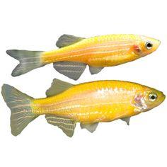 how to take care of glofish eggs