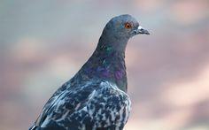 Download wallpapers Pigeon, birds, bird of the world, nature
