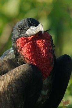 Photographing the Galapagos – Frigatebirds | Jeff Wendorff