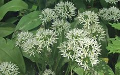 Wild garlic: what to do with nature's most delicious (and free) ingredient