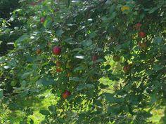 apples by Stephanie Fay