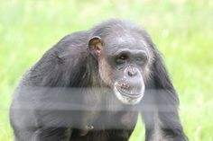 AWARENESS : Here's a photo of Negra at Chimpanzee Sanctuary NW, who now gets to have sunshine, friends, and choices after being stolen from Africa and used in biomedical research for decades. Let's raise awareness about others like Negra still in labs, and for her relatives in Africa that need our help. ChimpsNW.org