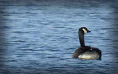 Seneca Lake Goose (by Erik Pedersen)