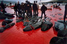 Sea Shepherd's Operation GrindStop 2014 - coming soon to the Faroe Islands to defend Europe's Pilot Whales & Dolphins