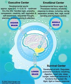 Developmental stages of brain function for executive, emotional and survival.