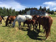 Saignélegierin suuri hevostapahtuma Jura-vuorilla.