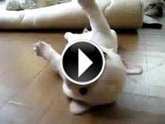 Un bébé bouledogue coincé sur le dos #chien #blanc #lol