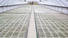 Tobacco greenhouse, its getting a green shade to it. Were off to the races now.