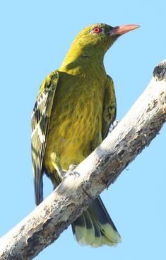 The Common Grackle Bird Ocean Ecosystem, Conure, All Birds, Cockatiel, Bird Feathers, Beautiful Birds, Blue Bird, Bbc London, Funny Animals