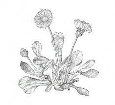 Afbeeldingsresultaat voor bloemen getekend zwart wit