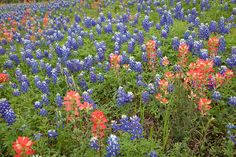 Bluebonnets and Indian Paint Brushes near Bee Caves Rd. and Capitol Texas Loop 360: Austin, TX