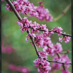 Southern Living article on Redbuds: Blooms fill the branches of the redbud to announce spring's arrival.