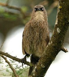 The Black-lored Babbler or Sharpe's Pied-babbler (Turdoides sharpei) is a species of bird in the Leiothrichidae family. It is found in southwestern Kenya, Tanzania, Uganda, Burundi, Rwanda, and the part of the Democratic Republic of the Congo