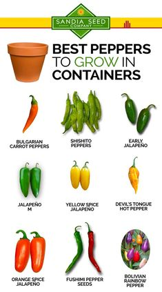If you want to grow peppers in containers, here are our favorite varieties that do well in pots – using large 5 gallon or larger containers is best for growing peppers. Here are lots of peppers that grow well in containers. Growing Jalapenos, Growing Peppers, Growing Vegetables In Pots, Container Gardening Vegetables, Types Of Peppers, Chilli Plant, Coconut Oil Weight Loss, Pepper Plants, Pepper Seeds