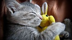 CatDeva บทความแมว ประกาศซื้อขายแมว ออนไลน์ฟรี แมวหลับ