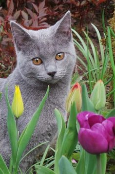 Tiptoe through the tulips ~ sweet grey kitty