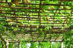 I'm a sucker for passionfruit vines. Passionfruit vines on bamboo ceiling patio.