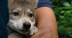 Female Mexican gray wolf pup born at Wolf Haven.